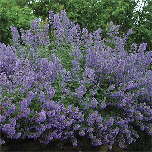 Walkers Low Nepeta