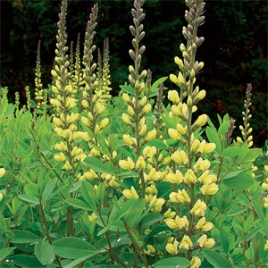 Carolina Moon Baptisia
