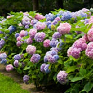 GreenLeaf Nursery's Endless Summer Hydrangea