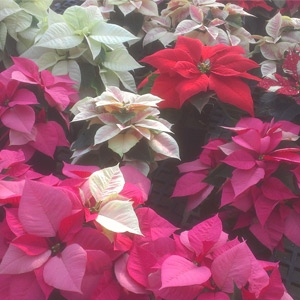Beautiful Poinsettias