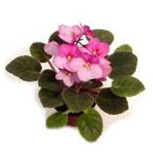 Optimara Beautiful Premium Collector Africian Violets