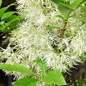 Grancy Greybeard (Fringe Tree)