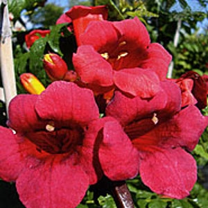Atomic Red Trumpet Vine
