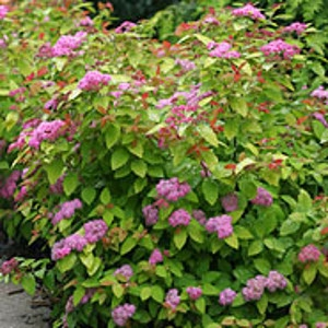 Spirea Double Play Big Bang