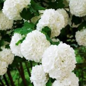 Chinese Snowball Bush
