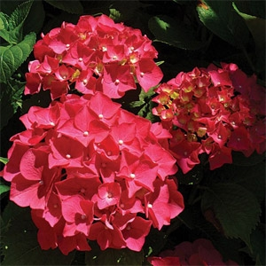 Forever & Ever Hydrangea macrophylla 'Red Sensation'