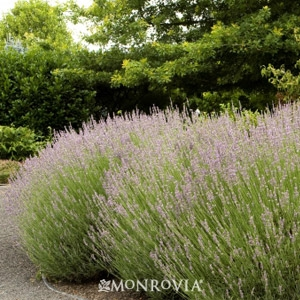 French Lavender 'Provence'