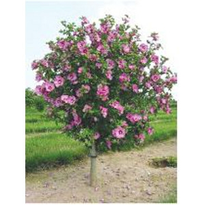 Aphrodite Rose of Sharon Tree Form